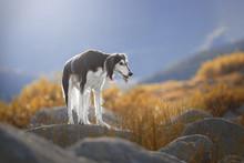 Beautiful Dog Breed Saluki On ...