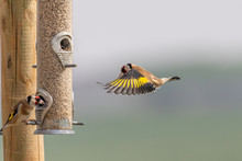 A Colorful Goldfinch Coming In...