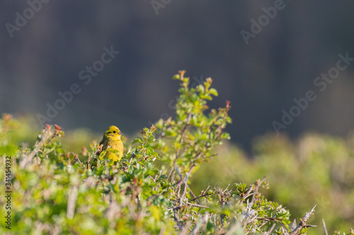 A vibrant yellowhammer sitting in the top of a hawthorn hedgerow Fototapeta