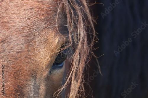Fototapeta œil de cheval alezan obraz