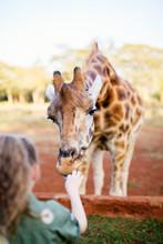 Cute Little Girl Feeding Giraffe In Africa