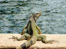 Iguana By Lake
