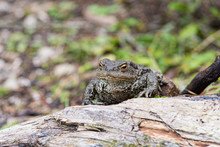 Close Up Shot Of A Large Toad Resting On A Wooden Trunk