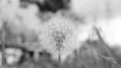 Fototapety, obrazy: Macro de un diente de león en blanco y negro con fondo desenfocado en un jardín en verano