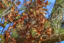 Eastern Screech Owl Peeking Through A Maze Of Oak Leaves.