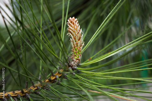 Fototapeta Natural pine wood background for postcard or Wallpaper. Concept of nature. A sprig of young pine with long needles in early spring with a Bud (cone) blooming on a blurred background. obraz na płótnie