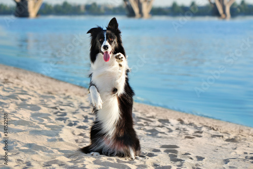 Border collie sitting on hind legs at the beach Canvas Print