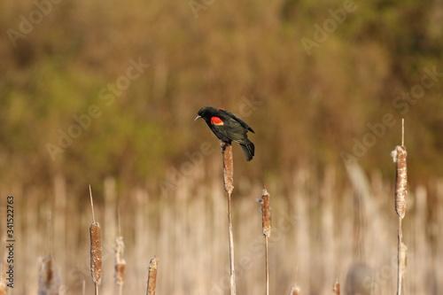 Red-winged blackbirds singing across the marsh in springtime Wallpaper Mural