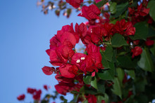 Bunch Of Red Bougainvillea Flowers With Blue Sky In The Background