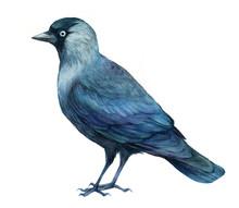 Jackdaw Bird  Watercolor Illus...