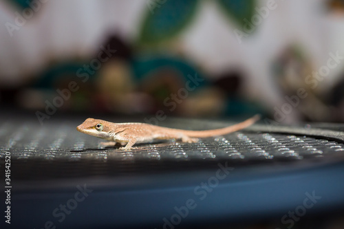 Photo Brown green anole lizard on patio chair in backyard - selective focus