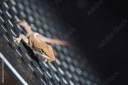 Photo Brown green anole lizard on patio chair in backyard - selective focus with copy