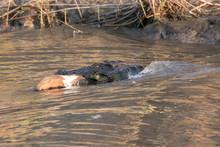Nile Crocodile Feeding On Egyptian Goose