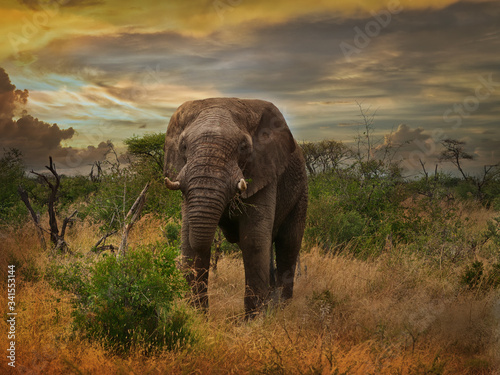 Stately elephant bull in the savanna