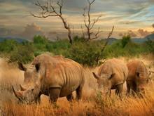 White Rhino In The African Sav...
