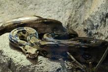 Snake Boa Constrictor In Wait