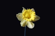 Yellow Daffodil Flower On A Bl...