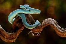 The White-lipped Pit Viper Is ...