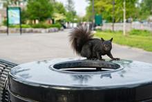 Black Squirrel On A Trash Can ...