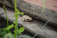 A Small Gray Frog On A Summer Evening On Old Logs In A Country House.