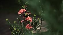Dwarf Santan Flower In A Garden Plant