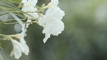 Jasmine Flower In A Garden Plant