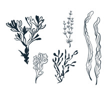Seaweed Sketch Vector Japanese Chinese Design Isolated Elements