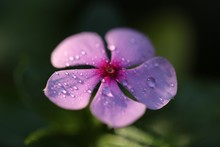 Close-up Of Wet Purple Flower Blooming Outdoors