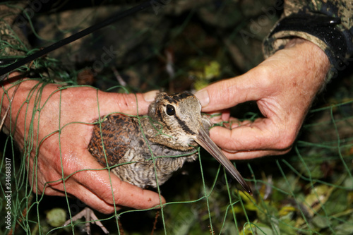 Fotografía Ornithologist holding the eurasian Woodcock (Scolopax rusticola) in hands during