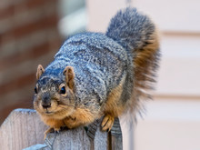 Squirrel Sitting In A Wooden F...