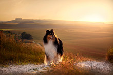 Rough Collie At Sunset