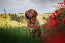 Dogue De Bordeaux In Poppies II