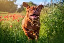 Dogue De Bordeaux In Poppies IV