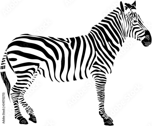 Graphic illustration of a standing zebra in isolate on a white background .Vector illustration. - 341702713