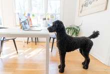 Black Standard Poodle Watching...