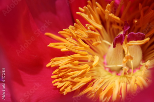Photo A dark pink Peony flower with yellow anthers.