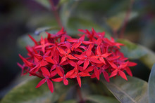 Red Little Ixora Chinensis Flowers
