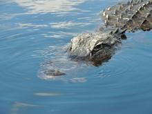 Portrait Of Crocodile In Water