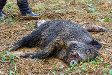 Killed Wild Boar (sus Scrofa) After A Hunt