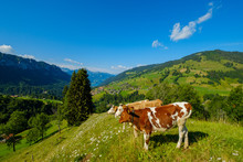 Small Herd Of Cows Graze In The Alpine Meadow
