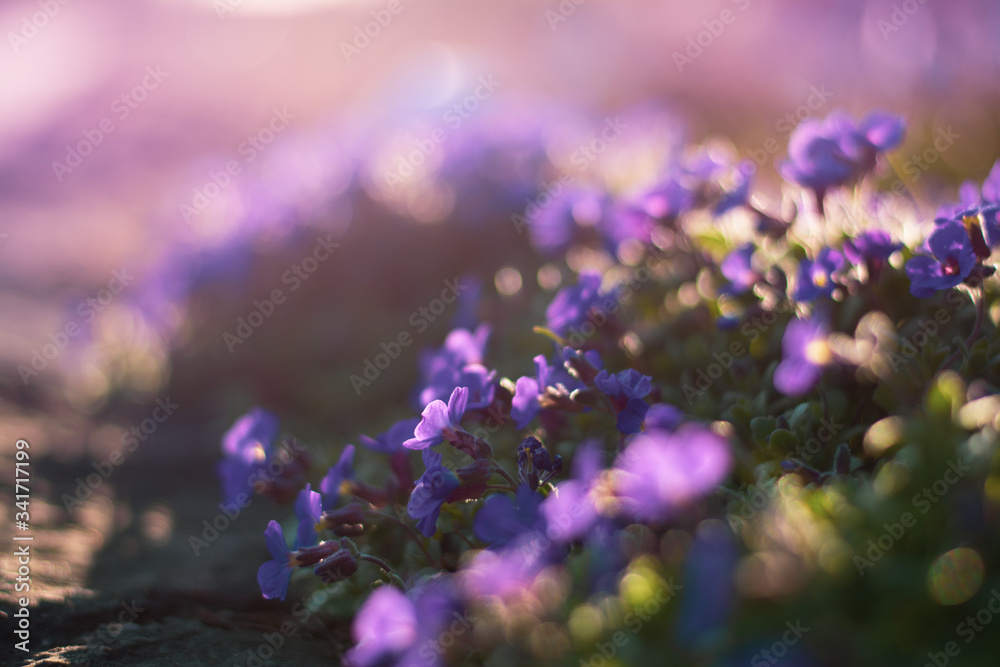 Fototapeta Close up of tiny purple Spring flowers in a meadow. Backlighting during golden hour. Shallow depth of field with bokeh