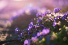 Close Up Of Tiny Purple Spring...