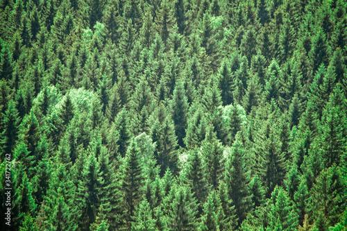 Fototapeta Full Frame Shot Of Coniferous Trees In Forest obraz