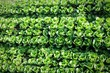 Leinwandbild Motiv Full Frame Shot Of Fresh Organic Cabbages On Field