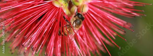 Obraz Abeille sur une fleur de Callistemon - fototapety do salonu