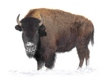 Bison Stands In The Snow Isola...