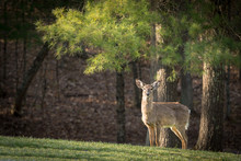 A Female White Tailed Deer Sta...