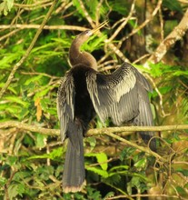 Cormorant Resting On A Branch In Costa Rica