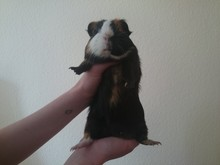 Person Holding Guinea Pig Against White Wall