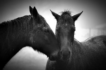 Heads Of Two Horses Touching